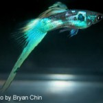 This bottom swordtail would be entered in the Single Swordtail class.