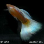 Genetic albino HB Pastel. This fish would be entered in the AOC Albino class