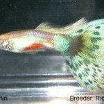 A Blue Green Bicolor showing the recessive genetic gold trait. This fish would be entered in the Blue Green BiColor class.
