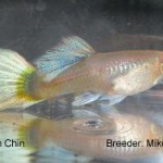 A pastel guppy that would be entered in the AOC Female class.