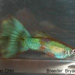 A young genetic gold green. This fish would be entered in the Green class.