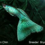 This fish carries the Y-link Moscow trait and would be entered in the Green class.