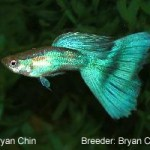 A green with half colored green body. The half color trait in this strain is dominate Y-linked. This fish would be entered in the Green class.