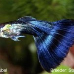 A Half Black guppy with royal blue finnage. This guppy would entered in the Half Black Blue class.