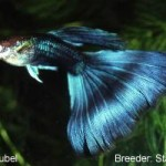 A Half Black guppy with medium blue finnage. This guppy would be entered in the Half Black Blue class.