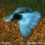 A Half Black guppy with light blue finnage. This guppy would entered in the Half Black Blue class.