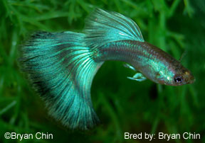 Indian Guppy Fish | Guppy Types Guppy Associates International Chicago