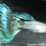 Green bicolor type. Genetic snakeskin  and zebrinous male. The zebrinous bars have masked some of the snakeskin  rosette pattern. Since there is less than 60% rosette body pattern this  fish is entered in the Blue Green BiColor class.