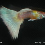 Genetic albino Half Black Pastel. This fish would be entered in the AOC Albino class. 2009 IFGA annual.