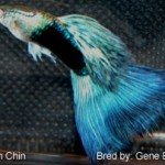 Half black blue bicolor. This fish was entered in the Half Black AOC class. 2009 IFGA annual